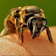 با نیش زنبور از شر این بیماریها خلاص شوید