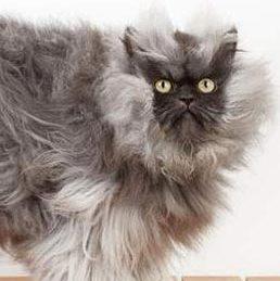 گربهای که با موهایش رکورد شکست +عکس